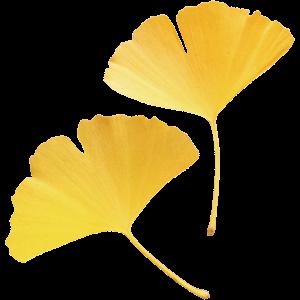 イチョウの葉の画像