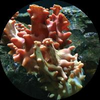 海の生物ホヤの海中写真